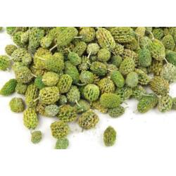 Casurina termés zöld