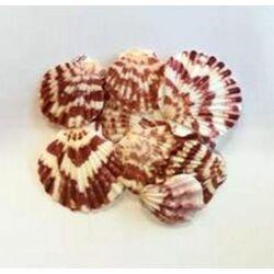 Tengeri csíkos kagyló különböző méretben