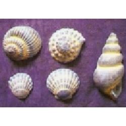 Gipszkiöntő - kagylók