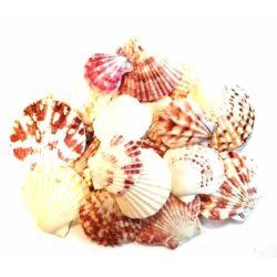 Tengeri natúr kagyló, különböző méretben
