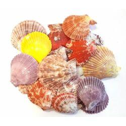 Tengeri színes kagyló, különböző méretben