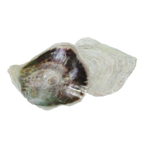 Tengeri kagyló, natúr nagy